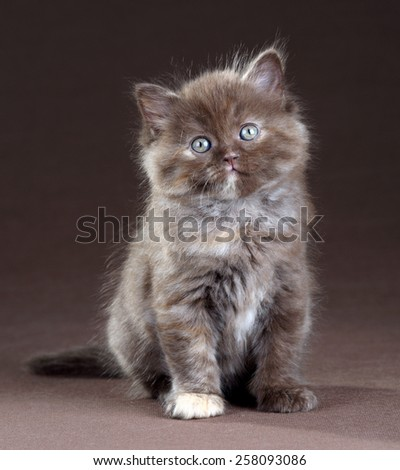 Brown british kitten sitting on a brown background