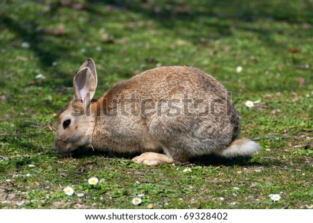 Brown bunny while eating the grass