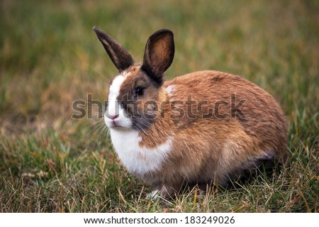 Brown Bunny with white spots on it's snout on grass