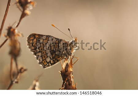 Brown butterfly covered with water bubbles on a plant straw early in the morning