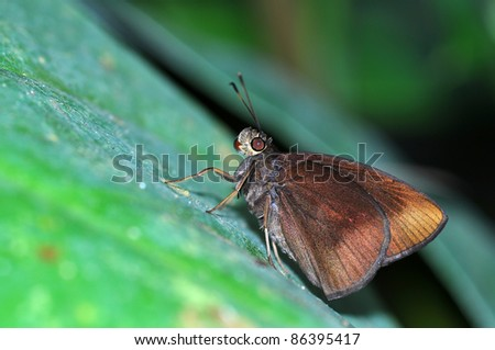 Brown butterfly on leaf (Chocolate Demon)