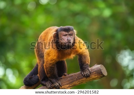 Brown capuchin monkey looking among the trees - stock photo