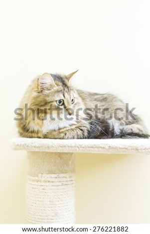 brown cat white underground female, siberian breed on the post - stock photo