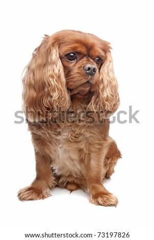 brown cavalier king charles spaniel over white - stock photo