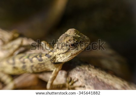 Brown  chameleon with eyes close up,selective focus with shallow depth of field:Macro shot.  - stock photo