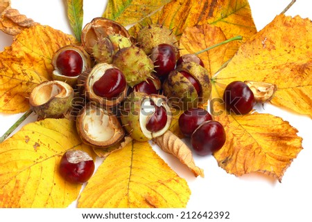 Brown chestnut nut with autumn yellow leaves closeup isolated on white background