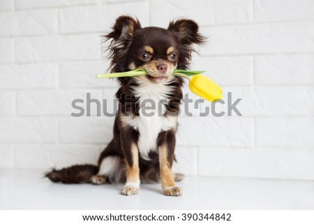 brown chihuahua dog holding a yellow tulip - stock photo