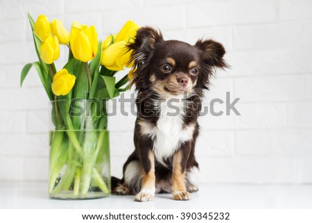 brown chihuahua dog with yellow tulips - stock photo
