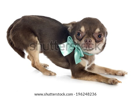 brown chihuahua in front of white background