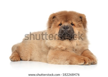 Brown Chow chow puppy lying on a white background - stock photo