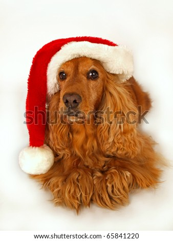 brown cocker spaniel with red christmas hat - stock photo