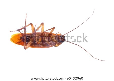 brown cockroach insect isolated over white - stock photo
