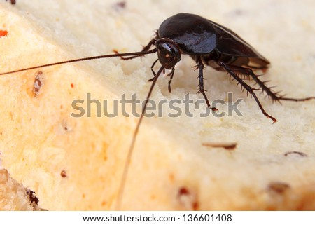 Brown Cockroach on a Piece of Bread