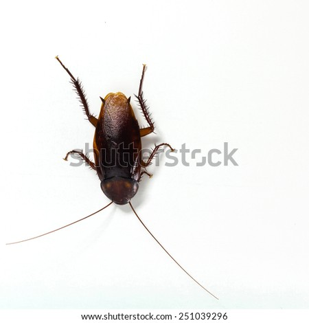 Brown cockroach on white background