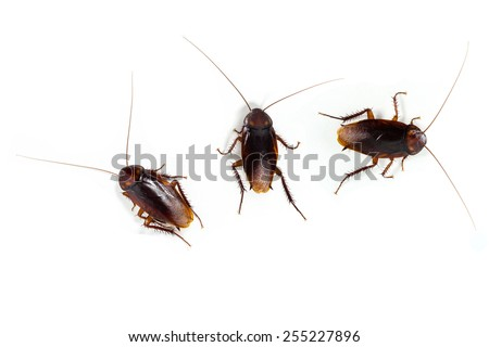 Brown cockroach on white background - stock photo