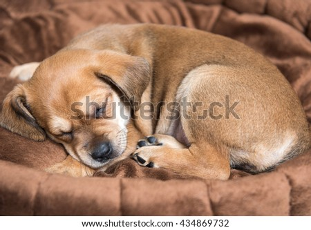 Brown Colored Terrier Puppy Sleeping in Dog Bed