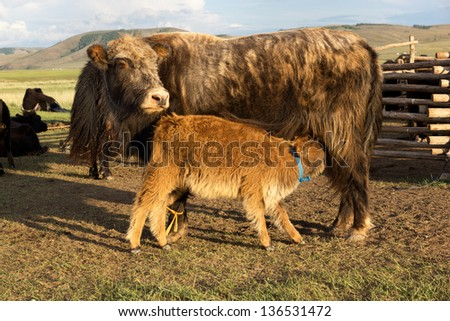 Brown cow and calf suckling in the Mongolia - stock photo