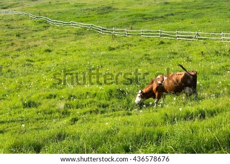 Brown cow graze on meadow with green grass. Wooden fence in background. Space in left side - stock photo