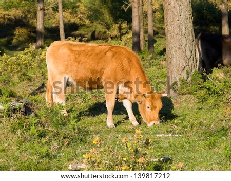 Brown cow grazing in a forest in the north of Spain, in Galicia. - stock photo