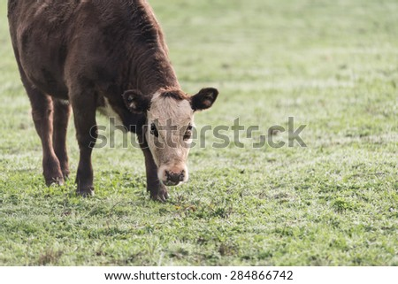 brown cow in a grassy field - stock photo