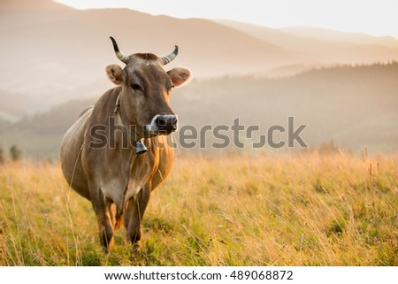 Brown cow in a pasture in the mountains just before sunset