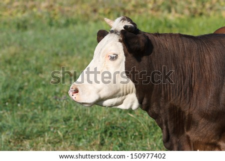 Brown cow in profile against green meadows. close-up - stock photo