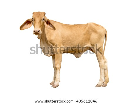 Brown cow isolated on white background - stock photo