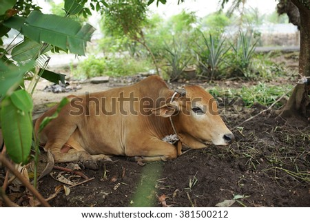 Brown cow lying and tied on a tree