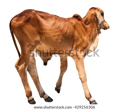 Brown cow on a white background.