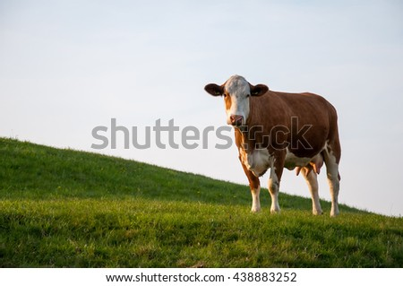 Brown cow on meadow - stock photo