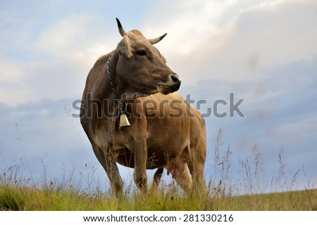 Brown cow on mountain pasture. Summer day - stock photo