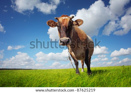 Brown cow standing on a green meadow and looking to a camera - stock photo