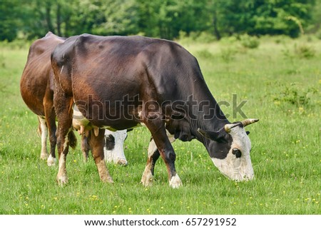 Brown cows grazing on a pasture in the summer