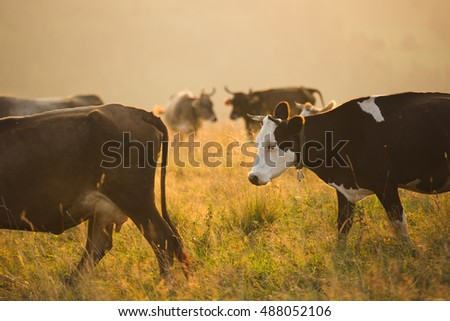 Brown cows in a pasture in the mountains just before sunset