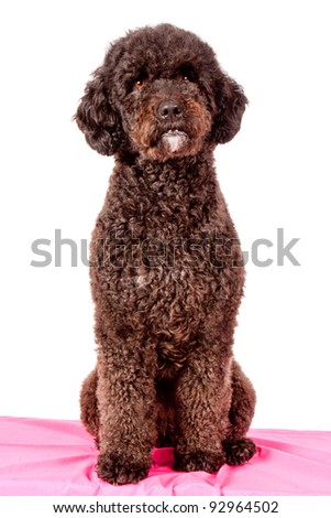 brown curly fur dog - stock photo