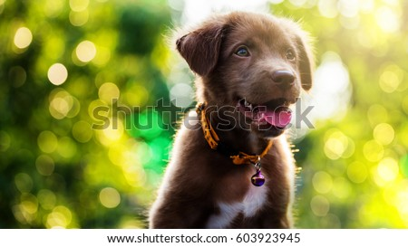 Most Inspiring Cute Canine Brown Adorable Dog - stock-photo-brown-cute-smile-labrador-retriever-puppy-with-spring-foliage-bokeh-and-sunset-light-abstract-head-603923945  2018_80393  .jpg