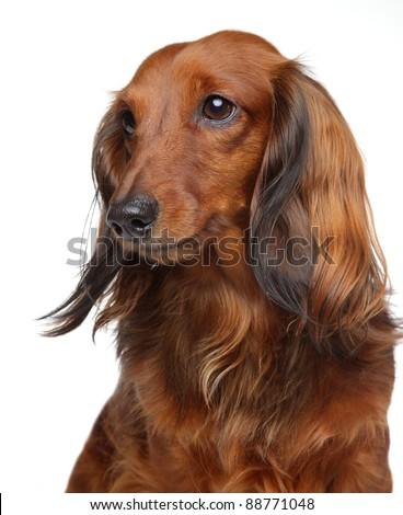 Brown Dachshund puppy. Portrait on a white background - stock photo