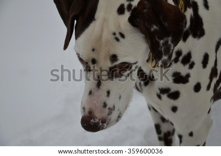 brown dalmatian, portrait, special color, - stock photo