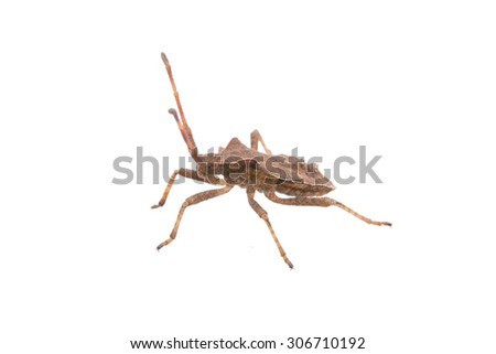 Brown Dock Bug isolated on a white background