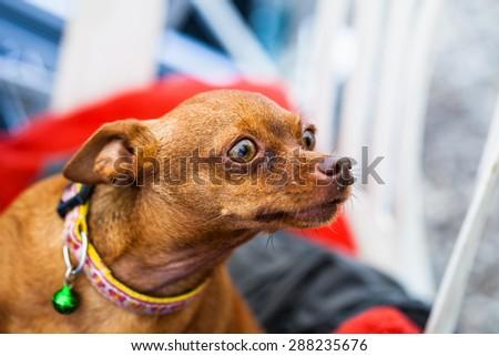 Brown dog. - stock photo