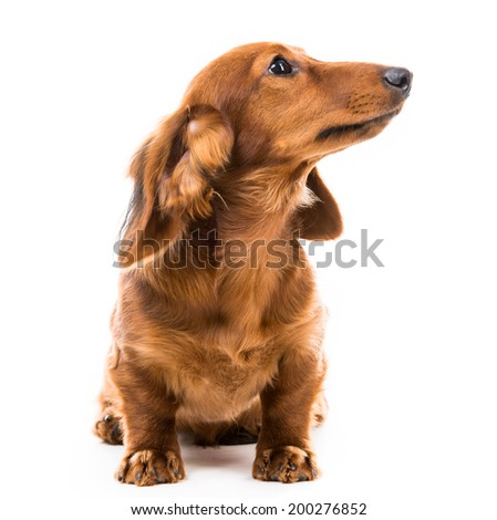 brown dog breed dachshund on white background - stock photo