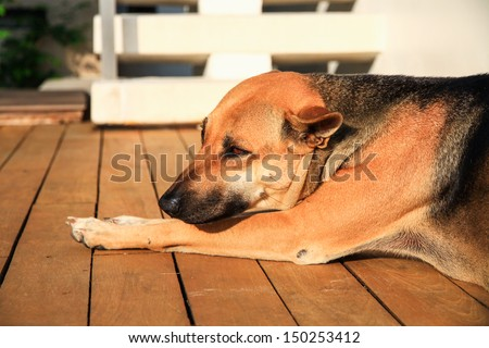 Brown dog crouched on wooden floor