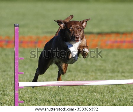 Brown dog going over a jump during an agility event - stock photo