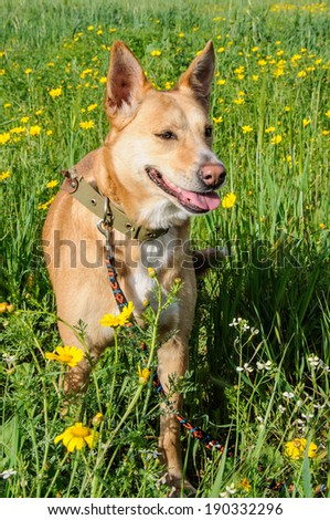 Brown dog in a meadow of yellow flowers