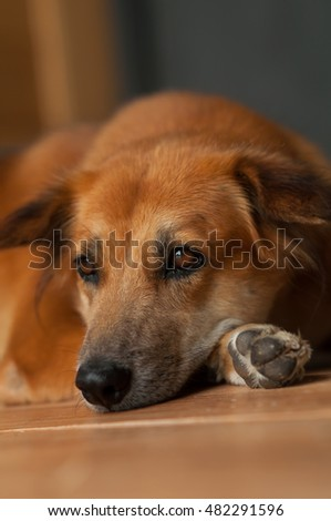 brown dog lying on a wood floor.