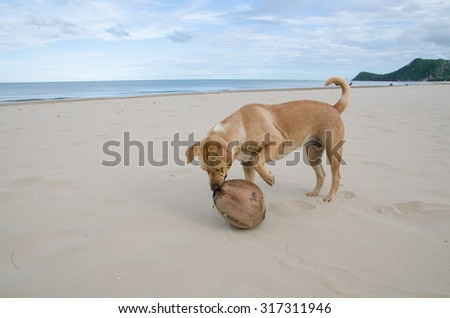 Brown dog playing the waves at the beach with coconut in mouth