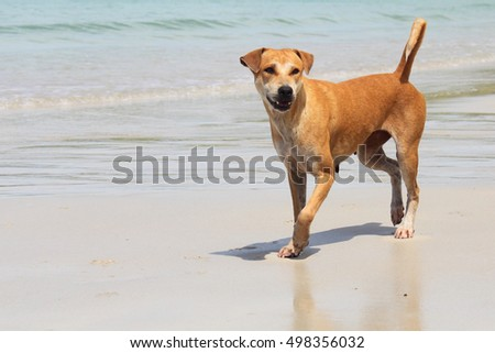 Brown Dog standing on a beach on a hot and sunny weather, Brown bear standing on a beach, Brown Dog standing by the sea amid hot weather.