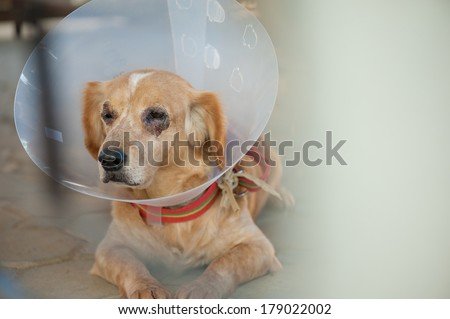 brown dog with scar around eyes wearing cone collar