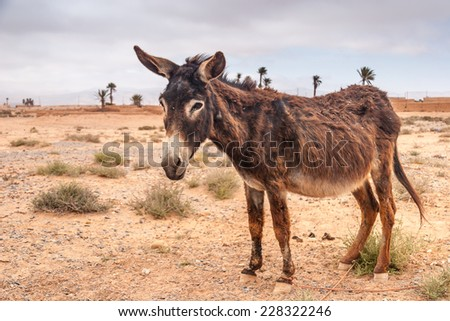 Brown donkey at field at summer. Morocco
