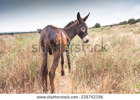 Brown donkey at field at summer. Morocco - stock photo